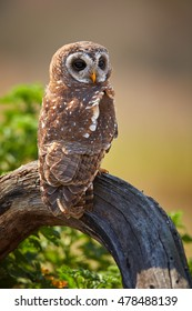 Vertical photo of isolated, African wood owl, Strix woodfordii perched on trunk. Smaller colourful owl, staring at camera. Close up photo. Drakensberg, South Africa.