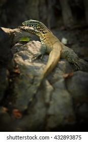 Vertical photo of isolated, wild Nile Monitor, Varanus niloticus lying on rock against dark background. Rear view,  South Africa.