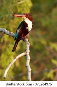 Vertical photo of large kingfisher with bright blue back, chestnut head and a large red bill,  White-breasted Kingfisher,Halcyon smyrnensis perched on branch with green blurred leaves in background.