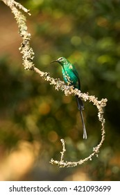 Vertical photo of malachite sunbird Nectarinia famosa, male changing feathers perched on twig, lit by afternoon sun. Drakensberg, KwaZulu Natal, South Africa.
