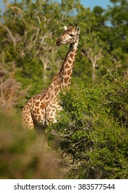 Vertical photo of  Masai Giraffe, Giraffa camelopardalis tippelskirchi , feeding on leaves in summer season, staring directly at camera. Green bush and trees in background. Saadani, Tanzania.