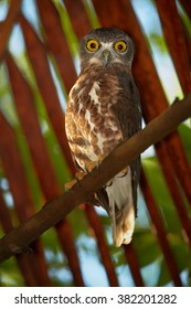 Vertical photo of nocturnal predator, Brown Hawk Owl, Ninox scutulata, roosting in hidden place in palm tree against dry palm leaves in background. Front view, wildlife, Sri Lanka, Balapitiya resort.
