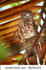 Vertical photo of nocturnal predator, Brown Hawk Owl, Ninox scutulata, roosting in hidden place in palm tree against dry palm leaves in background. Wildlife photography, Sri Lanka, Balapitiya resort.