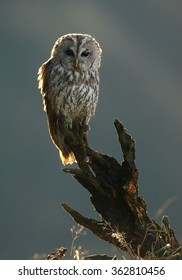 Vertical photo of one Strix aluco,Tawny Owl, perched on top of old root in backlight in early morning,curiously stares at camera. Blurred background. Nice diagonal composition.