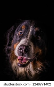 Vertical photo with portrait of adult female Bernese Mountain Dog. Dog has open smiling mouth with big pink tongue. Fur has white, orange and black color. Background is dark.