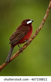 Vertical photo of reddish passerine Silver-beaked Tanager, Ramphocelus carbo, perched on diagonal twig in rain with waterdrops on feather against abstract green background green.Ecuador, Wild Sumaco.