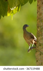 Vertical photo Rufous-vented Chachalaca  Ortalis ruficauda,exotic bird, perched on palm tree in backlight, green blurred background. Trinidad and Tobago
