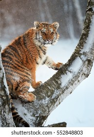 Vertical photo of Siberian tiger, Panthera tigris altaica, young male sitting on birch tree in winter, snowflakes backlighted by early morning sun. Freezing cold, taiga environment.