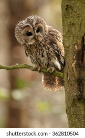 Vertical photo of small european owl, Strix aluco,Tawny Owl perched on twig in oak forest, curiously looks from behind tree trunk. Bokeh background, close up wildlife, European forest, Czech republic.