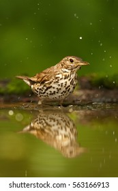 Vertical photo of Song Thrush, Turdus philomelos enjoying bath in deep european forest. Hot summer. Bather bird in water against dark green background. Hide photogrpahy, Hungary.