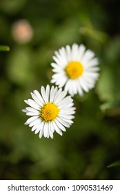 Little yellow ball flowers images stock photos vectors shutterstock vertical photo with top view on two nice daisies flowers have white leaves and golden mightylinksfo