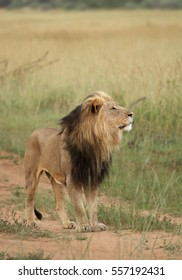 Vertical photo of Transvaal lion or Southeast African lion, Panthera leo krugeri, black-maned male sniffing in the air. Timbavati reserve, Kruger area, South Africa.