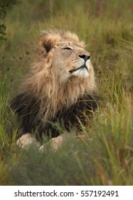 Vertical photo of Transvaal lion or Southeast African lion, Panthera leo krugeri, close up black-maned male lying in green savanna, sniffing in the air. Entabeni game reserve, South Africa.