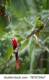 Vertical photo of two large parrots, green and scarlet macaw perched together against green background. Colorful, wild,  parrots in their natural environment. Tropical forest of Central America.