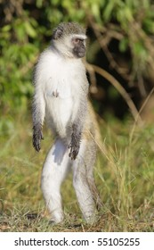 A vertical photo of a vervet monkey female standing upright in the kruger national park, south africa