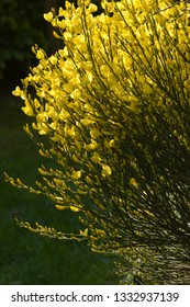 Vertical photo of a yellow Common broom or Scotch or English broom with close depth of field
