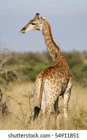 A vertical photo of a young giraffe standing in sunlight in south africa's kruger national park