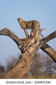 A vertical photograph of one Cheetah (acinonyx jubatus) on the lookout in a dead tree during sunrise in The Kruger National Park