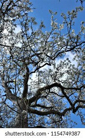vertical photograph of pear tree in full spring against a blue sky,