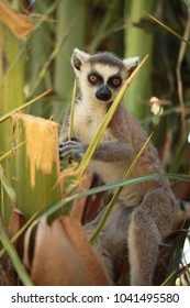 Vertical photography of funny, young, cute lemur with big orange eyes, standing on a tree with green leafs, outdoors on a sunny day