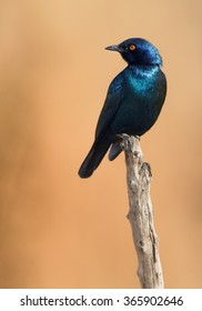 Vertical photo,sparkling,metallic blue Cape Glossy Starling Lamprotornis nitens with bright orange eye perched on dry branch, orange brownish blurred background. Front view. Africa,Zimbabwe,Hwange.