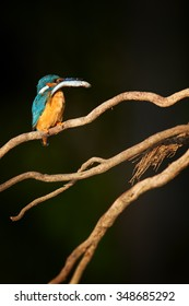 Vertical picture of Common Kingfisher  Alcedo atthis perched on twisted root, isolated on dark background with fish in beak.