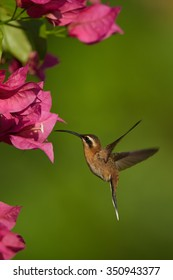 Vertical picture of small brown hummingbird Little Hermit Phaethornis longuemareus hovering and feeding from pink Bougainvillea flower. Distant blurry green background.