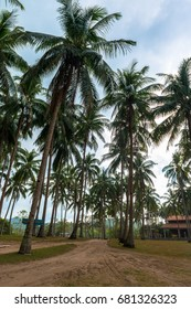 Vertical picture of some coconut trees on a dirt road and a house