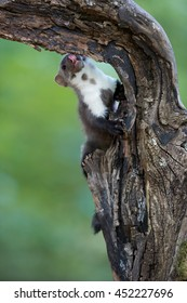 Vertical picture of Stone Marten, Martes foina hiking on old root against abstract green background. Europe,Czech republic.
