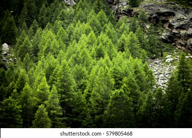 Vertical pine forest