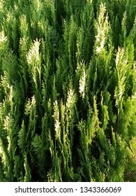 Vertical plates of cypress with sunspots on the greenery