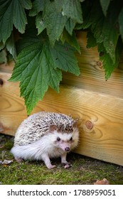 Vertical portrait of an adorable African white- bellied or four-toed hedgehog playing outside on grass.