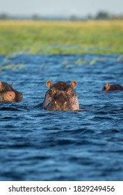 Vertical portrait of an adult hippo in blue water of Chobe River in Botswana
