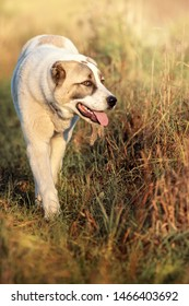 Vertical portrait of Asian Shepherd dog with tongue out