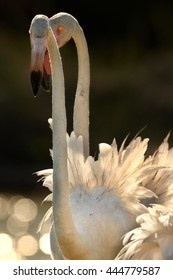 Vertical portrait of big white bird, Greater flamingo, Phoenicopterus roseus, backlighted against dark background. Nice bokeh of sparkling water. Portrait of two flamingos in  Camargue, France.