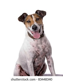 A vertical portrait of a fox terrier