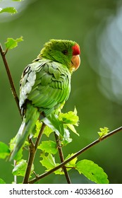 Vertical portrait of green and red Scarlet-fronted Parakeet, Psittacara wagleri perched on hibiscus branch. Wildlife photo of aratinga parrot in Colombian forest.