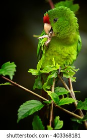 Vertical portrait of green and red Scarlet-fronted Parakeet, Psittacara wagleri perched on hibiscus branch. Wildlife photo of aratinga parrot in forest of Sierra Nevada de Santa Marta, Colombia.