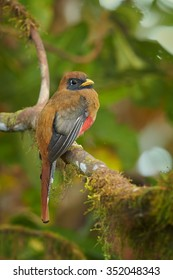 Vertical portrait of high altitude brown and red female Masked Trogon Trogon personatus in cloud forest of Ecuador perched on mossy twig. Blurry and wet green distant forest as background.