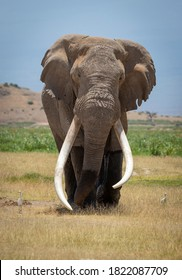 Vertical portrait of a large male elephant with huge white tusks walking towards camera with blue sky in the background in Kruger Park in South Africa