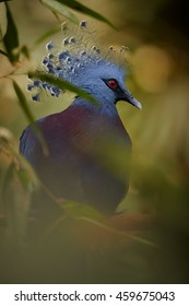Vertical portrait of the largest extant pigeon, Victoria crowned pigeon, Goura victoria. Blue colored bird with red eye and beautiful fan-shaped crest. Northern New Guinea.