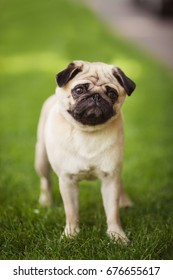 Vertical portrait of one dog of pug breed with short light hair standing outdoors on green grass on summer sunny day
