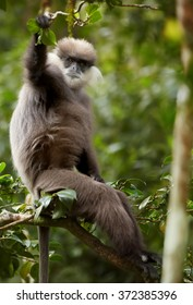 Vertical portrait Sri Lanka endemic, shy Purple-faced Leaf Monkey Trachypithecus vetulus, grayish brown fur monkey, staring directly at camera from treetop.Eye level photo,blurred green background.