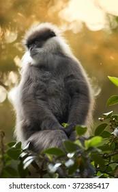 Vertical portrait Sri Lanka endemic, shy Purple-faced Leaf Monkey Trachypithecus vetulus, grayish mustache monkey, feeding leaves in treetop. Golden backlight, blurred background with bokeh effect.