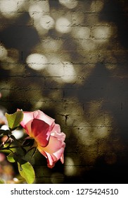 A vertical presentation of an abstract design.  A pink rose lit by sunlight standing out against an abstract grungy textured sepia brick wall.