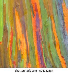Vertical rainbow eucalyptus tree bark - Eucalyptus deglupta