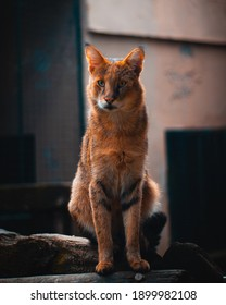 A vertical selective focus shot of a Somali cat sitting on wood with a blurry background