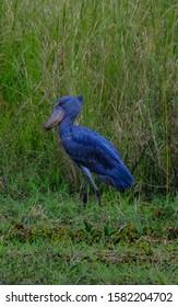 A vertical shot of a blue shoebill standing in a grassy field