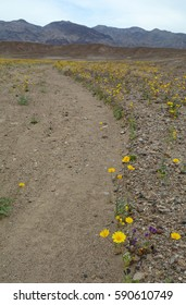 Vertical shot of a desert road lined with yellow wildflowers with mountains in the background in Death Valley National Park.  There is a person far off in the distance.