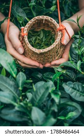 A vertical shot of a female collecting tea leaves into a small wicker basket